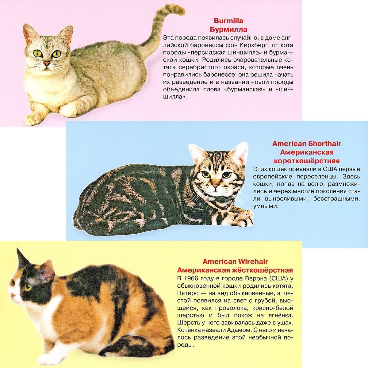 Узнай киску. Набор карточекВоспитателю ДОО<br>Вашему вниманию предлагается пособие Узнай киску с описанием пород кошек.В наборе 25 карточек.Материал: мелованный картон.<br><br>Год: 2016<br>Высота: 95<br>Ширина: 210<br>Толщина: 10