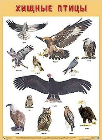 Плакат Хищные птицыЗанятия с детьми дошкольного возраста<br>Плакат большого формата Хищные птицы познакомит детей с удивительными представителями этого отряда: орлом, ястребом, совой и многими другими. Четкие, яркие фотографии обязательно заинтересуют ребят и помогут усвоить новые знания. Наглядный материал може...<br><br>Год: 2018<br>ISBN: 978-5-4315-0900-1<br>Высота: 690<br>Ширина: 500<br>Толщина: 1